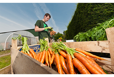 Person sorting carrots